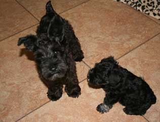 miniature schnauzer club of southern california MSCSC puppies
